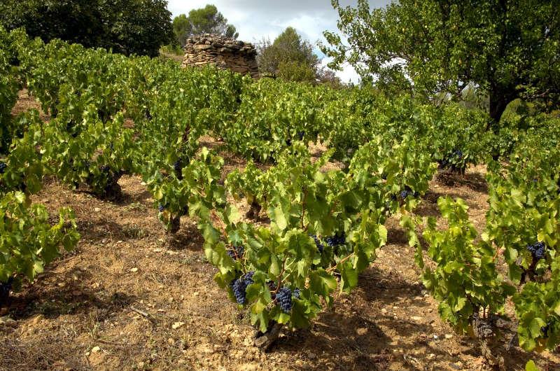 Viña cultivada para elaborar vino ecológico. Bodegas Artazu (Navarra).